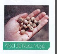Fruto de la Nuez maya